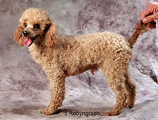 This Beautiful Apricot Toy Male Is The Progeny Of Two Dogs Shown Above He Was Sold On Saay 25 November Has A Very Dark Red Pet Quality Brother