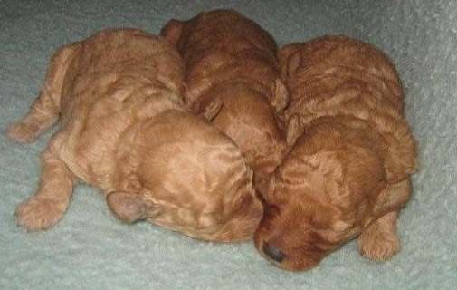 apricot toy poodle puppies from sunshinestar poodles at jandowae